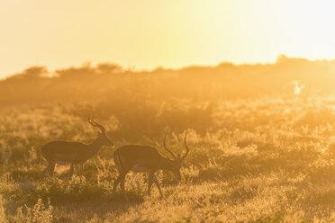Africa, Namibia, Etosha National Park, Impalas, Aepyceros melampus, at sunrise - FOF09999