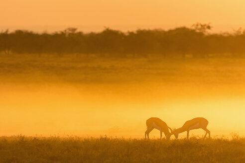 Africa, Namibia, Etosha National Park, Springboks, Antidorcas marsupialis, fighting at sunset - FOF10002