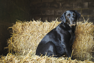 Black Labrador dog sitting on a bale of straw in a stable. - MINF05538