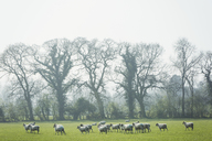 Flock of sheep on a pasture, trees in the background. - MINF05541