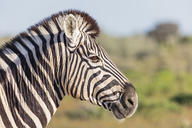 Africa, Namibia, Etosha National Park, Portrait of burchell's zebra, Equus quagga burchelli - FOF10011