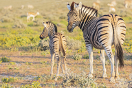 Africa, Namibia, Etosha National Park, burchell's zebras, Equus quagga burchelli, young animal and  mother animal - FOF10014