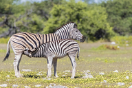 Africa, Namibia, Etosha National Park, burchell's zebras, Equus quagga burchelli, mother and young animal lactating - FOF10017