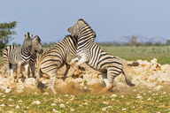 Africa, Namibia, Etosha National Park, burchell's zebras, Equus quagga burchelli, fighting - FOF10020