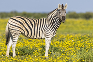 Africa, Namibia, Etosha National Park, burchell's zebras, Equus quagga burchelli, standing on yellow flower meadow - FOF10026