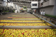 Workers in apple factory - ZEF15915