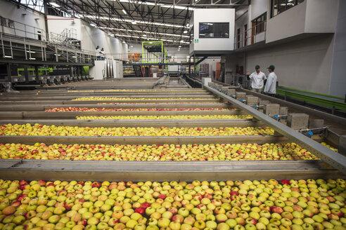 Workers in apple factory - ZEF15915