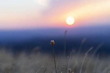 Spain, Catalonia, Montcau, grasses in sunset - AFVF01357