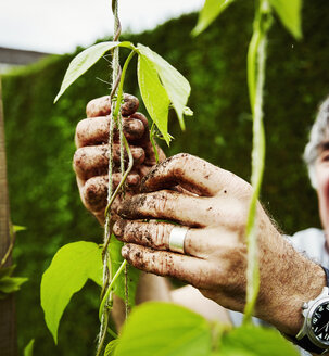 Close up of muddy hands. A gardener tying up runner bean plants to support. - MINF07392