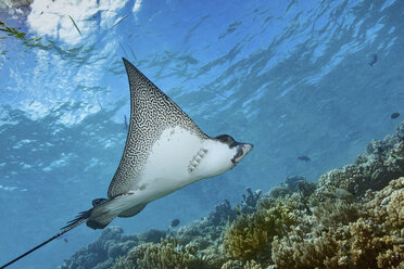 Graceful spotted eagle ray swimming across a coral reef in Fakarava. - MINF07793