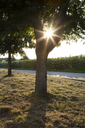 Tree at road, sunflower field against the evening sun - LVF07387