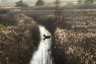 High angle view of deer in a narrow stream lined by tall reeds. - MINF08480