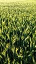 Wheat field - MAEF12690