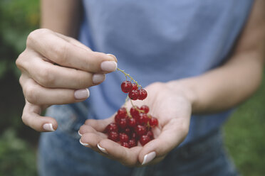 Young woman harvesting red currants - KNTF01217