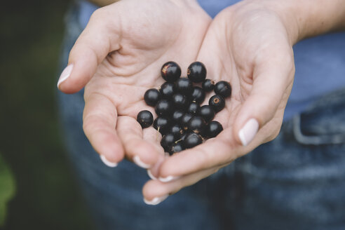 Young woman harvesting black currants, hands - KNTF01220