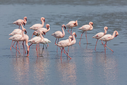 Namibia, Walvis Bay, flock of American flamingos and one Lesser flamingo - FOF10047