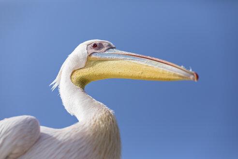 Namibia, Walvis Bay, portrait of white pelican against blue sky - FOF10050