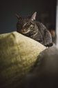 Cat on the top of a couch - RAEF02099