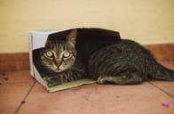 Portrait of tabby cat lying in a small cardboard box - RAEF02104