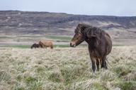 Iceland, Hvalfjoerdur, Icelandic horses - KEBF00851