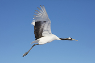Red-Crowned Cranes, Grus japonensis, mid-air in winter. - MINF08710