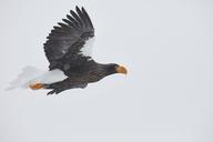 Steller's Sea Eagle, Haliaeetus pelagicus, mid-air, winter. - MINF08713