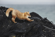 Ezo red fox, Vulpes vulpes schrencki, on heap of fishing nets in winter. - MINF08770