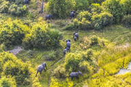 Aerial view of herd of African Elephants walking across lush delta. - MINF08845