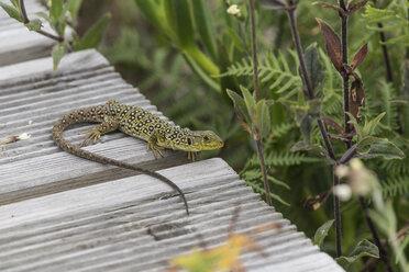 Portugal, Viana do Castelo, ocellated lizard - CHPF00505
