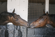 Close up of two bay thoroughbred horses in adjacent box stalls nuzzling, touching noses. - MINF09010