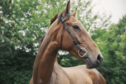 A bay thoroughbred racehorse in a paddock. Head turned. - MINF09013