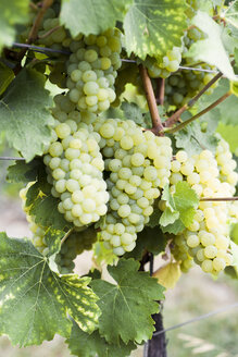 Green grapes on vine stock - CZF00330