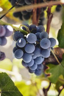 Blue grapes on vine stock - BZF00456