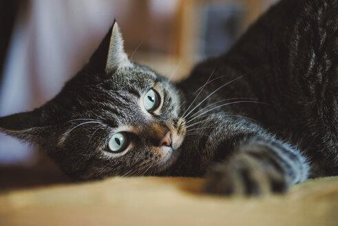 Portrait of tabby cat watching something - RAEF02116