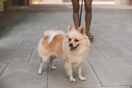 Portrait of a pomeranian with woman legs in the background - ACPF00243