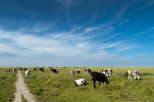 Germany, Schleswig-Holstein, Sankt Peter-Ording, view from dike to salt marsh with herd of cows - UMF00834