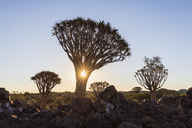 Africa, Namibia, Keetmanshoop, Quiver Tree Forest at sunset - FOF10165