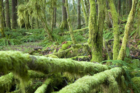 Scenic of the Hoh River Rain Forest. Olympic National Park, WA - AURF01489