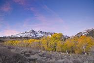 Yellow fall aspen trees beneath a snowy mountain at sunrise in the Sierra mountains of California - AURF01541