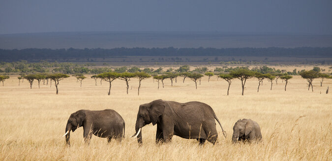 Three African Elephants (Loxodonta) walking in Kenya's Masai Mara. - AURF01804