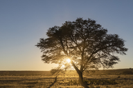 Botswana, Kgalagadi Transfrontier Park, Kalahari, camelthorn at sunrise - FOF10189