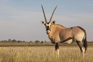 Botswana, Kgalagadi Transfrontier National Park, Mabuasehube Game Reserve, Gemsbok looking, Oryx gazella - FOF10212
