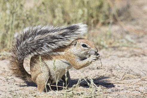Botswana, Kgalagadi Transfrontier National Park, Mabuasehube Game Reserve, African ground squirrel, Xerus inauris - FOF10218