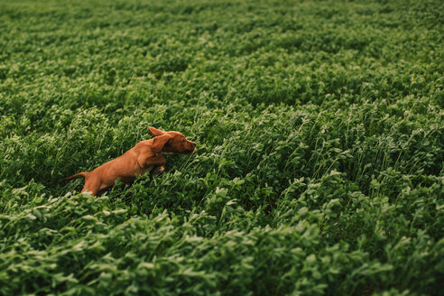 Puppy jumping on meadow - ACPF00290
