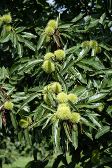 Sweet chestnuts on tree - HLF01112