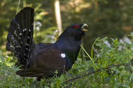 Wood great grouse, tetrao urogallus, male - ZCF00646