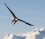 Bald Eagle (Haliaeetus leucocephalus) - AURF02142