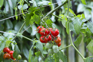 Organic tomato plant, red and green tomatoes - NDF00793