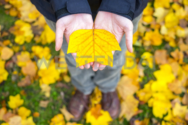 Woman's hands holding a yellow leaf in autumn - AURF02182 - Cavan Images/Westend61