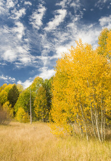 Fall Aspen trees and blue cloud filled sky, Hope Valley, Californa - AURF02346